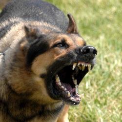 Czy kastracja psa zmniejszy jego agresję ?