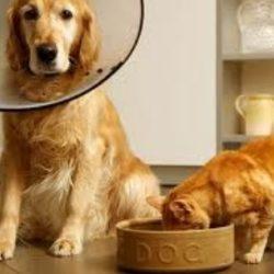 Czy pies może jeść kocie jedzenie?